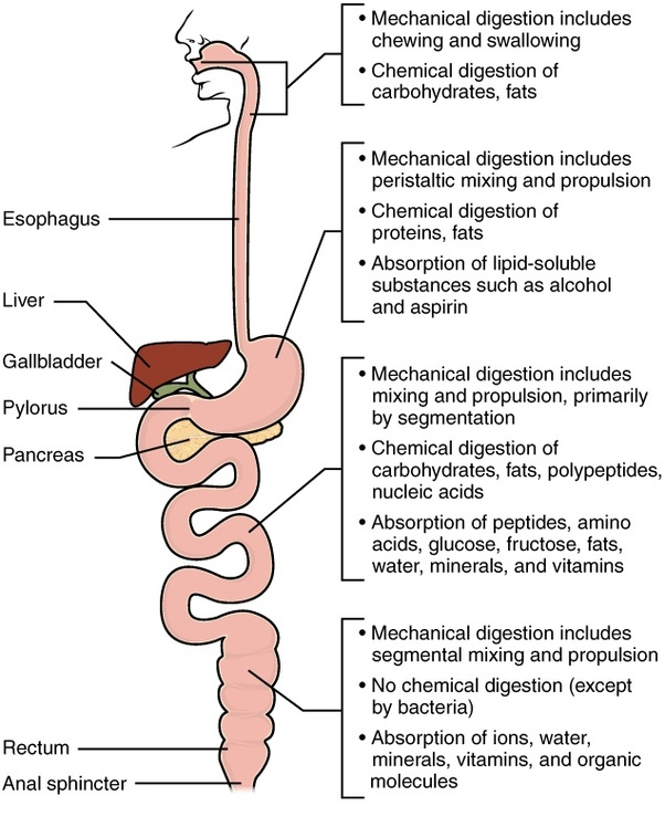How To Describe The Digestion Process Quora