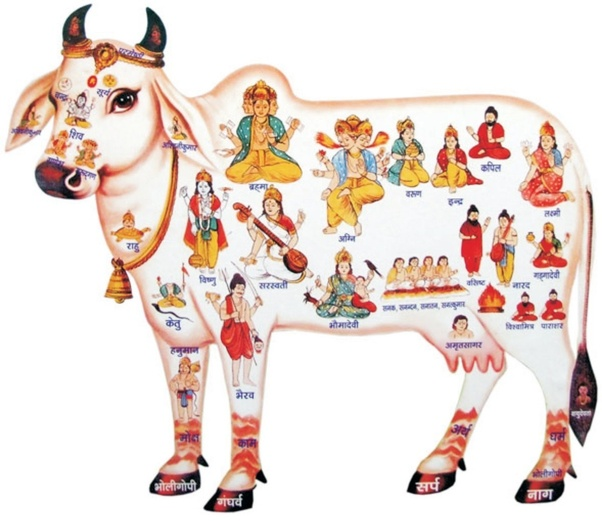 What are the differences between Desi cows and Jersey cows? - Quora