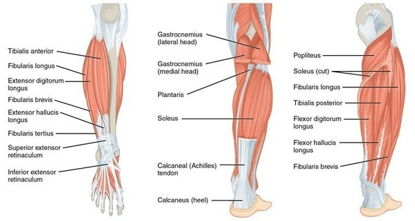 What Are The Uses Of The Calf Muscle Quora
