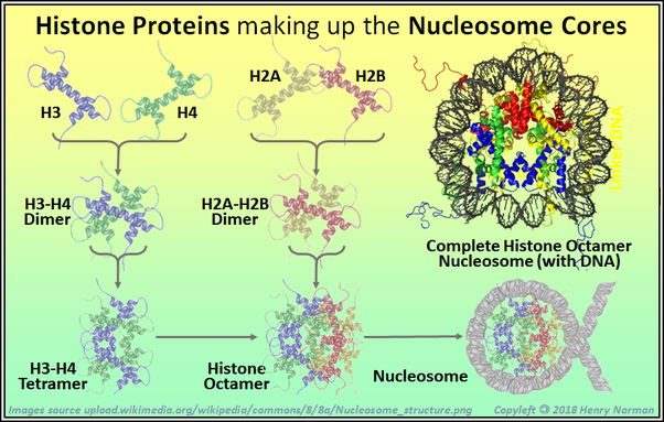 How do histones package dna molecules in the chromatin quora cut from my answer to quora question what is the difference between a chromosome and a nucleosome wikipedia article chromatin bold added ccuart Choice Image