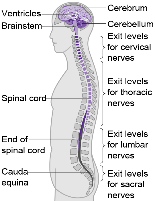 Is The Spinal Cord Part Of The Brain If It Isnt What Is The Line