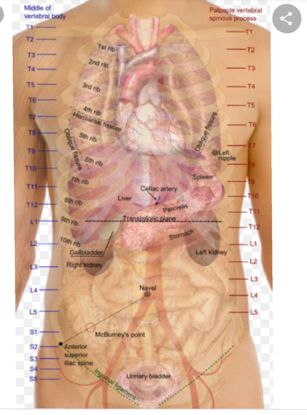 What Are Some Characteristics Of The Organs Under The Left Side Of The Rib Cage Quora