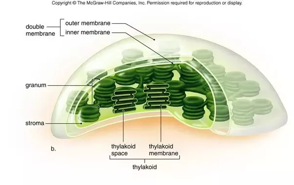 What are the similarities and differences between chloroplasts and what are the similarities and differences between chloroplasts and mitochondria quora ccuart Choice Image