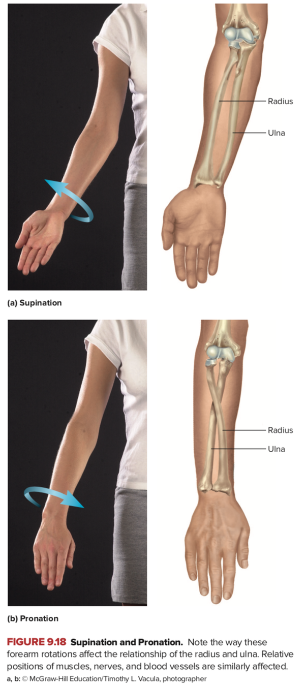 Is pronation/supination a movement part of the wrist or ...Pronation Hand