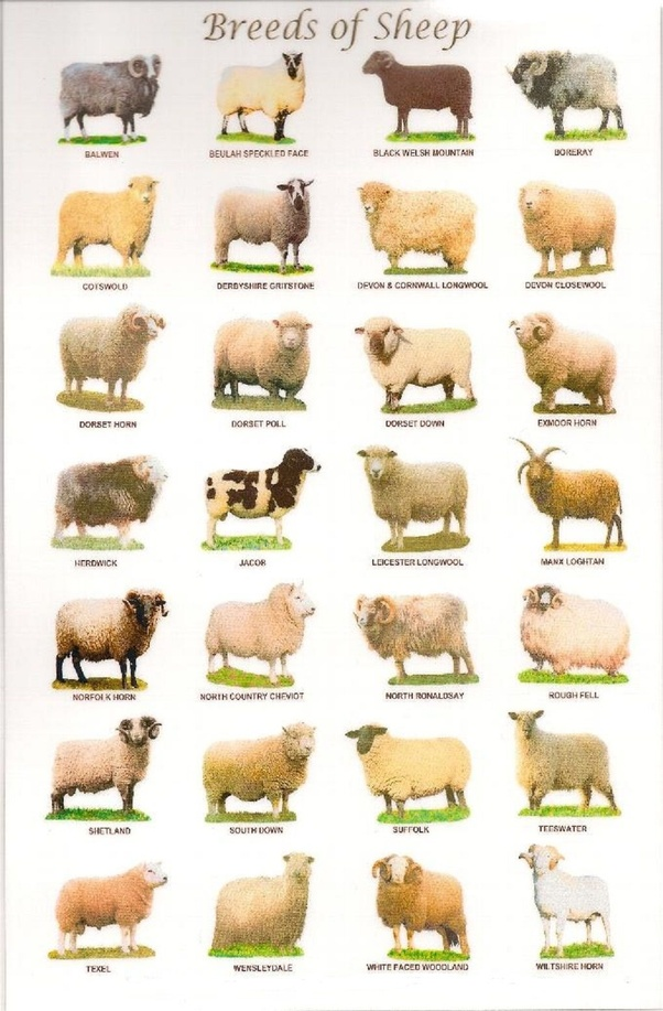 What has the modern sheep been bred for? - Quora