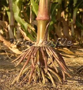 What Is The Common Example Of Prop And Stilt Root Quora
