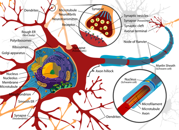 What is the name of the cell membrane of a nerve cell quora diagram of a typical myelinated vertebrate motor neuron source wikipedia ccuart Choice Image
