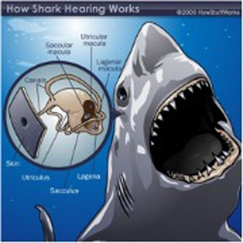 What Are Some Unknown Facts About Sharks
