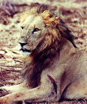 Who would win a fight between a lion and a grizzly bear? - Quora