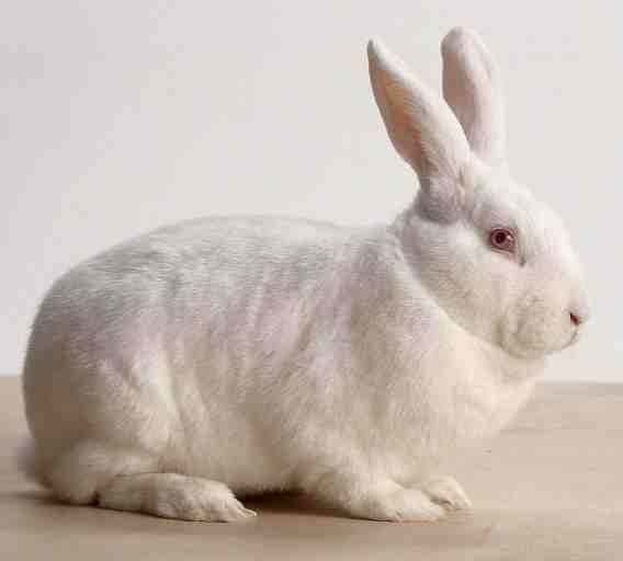 why do people eat rabbits quora. Black Bedroom Furniture Sets. Home Design Ideas