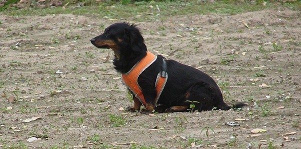 what were dachshunds bred for why are they so long quora