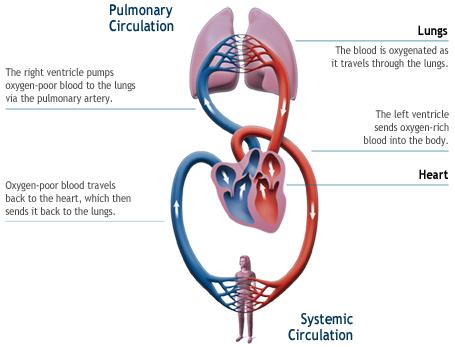 How can the aorta be clamped? Wouldn\'t the blood back up in to the ...
