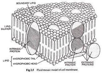 Who gave the fluid mosaic model of plasma membrane quora according to this model plasma membrane has two layers bilayer of phospholipids and two types of proteins intrinsic and extrinsic proteins ccuart Image collections