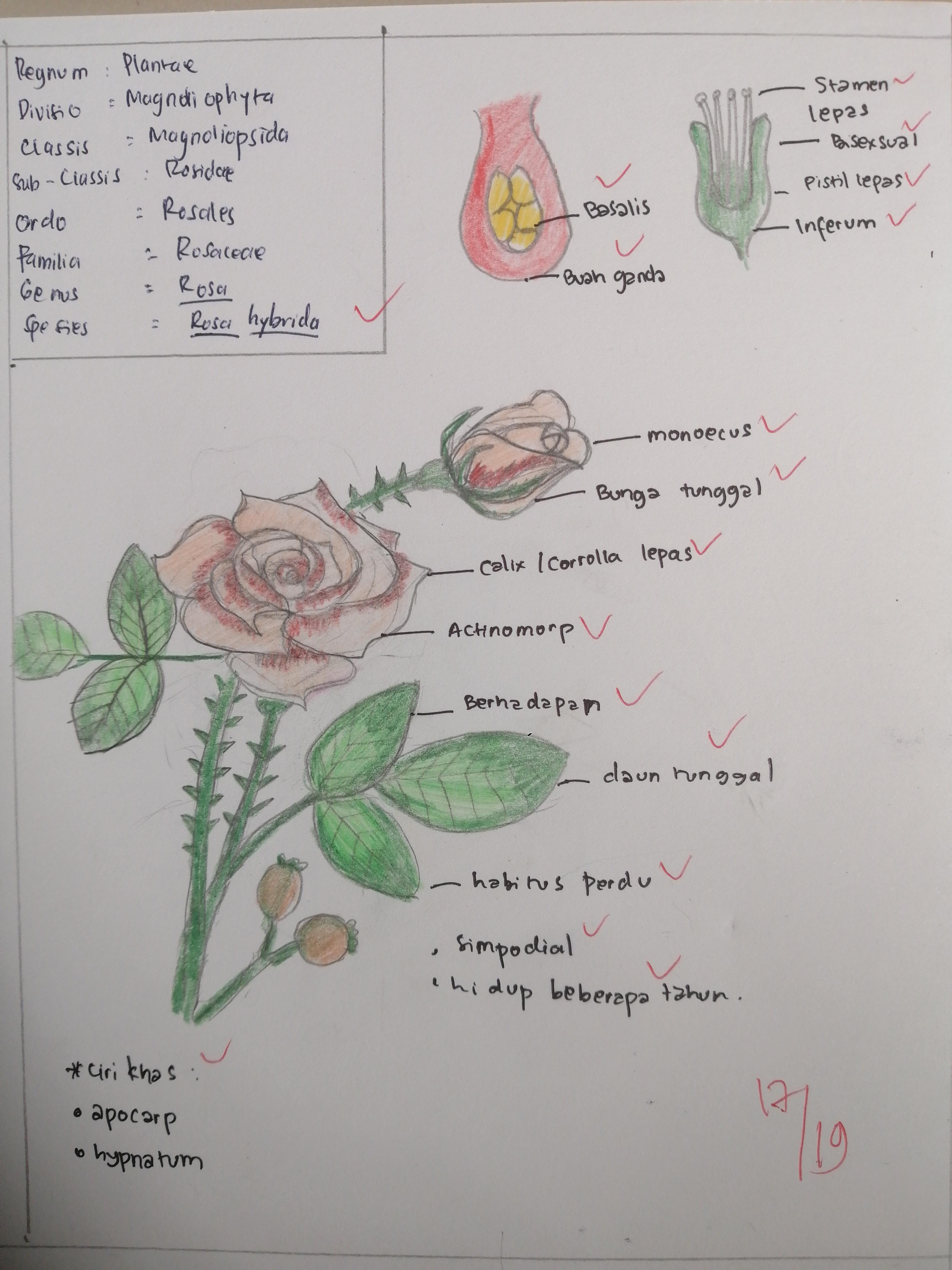 Mengapa Bunga Mawar Tidak Berubah Menjadi Buah Quora