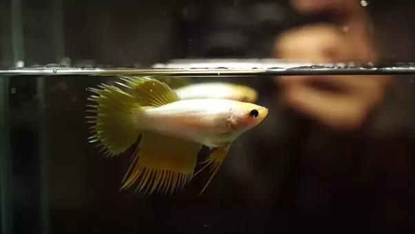 how to tell if your betta is pregnant