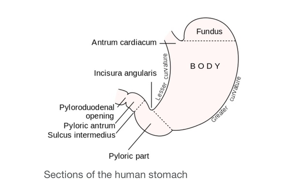 How big is the human stomach? - Quora