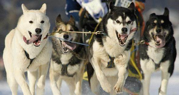 What Are The Differences Between An Alaskan Husky And A Siberian