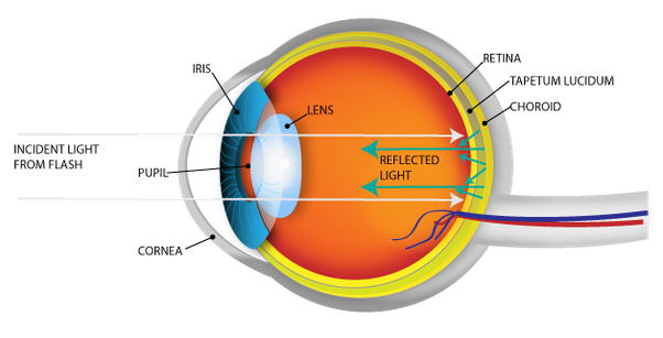 eyes diagram rods cines what makes cats' and dogs' eyes glow in the dark? - quora