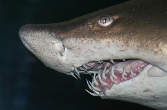 What is a sand shark are they dangerous to humans quora they are a brownish grey color with rust or red spots on top and a white underbelly theyre found in warm or temperate waters in parts of all the worlds publicscrutiny Image collections