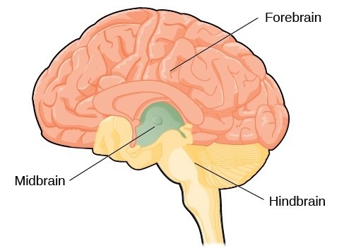What Are The 3 Main Sections Of The Human Brain Called And What Are