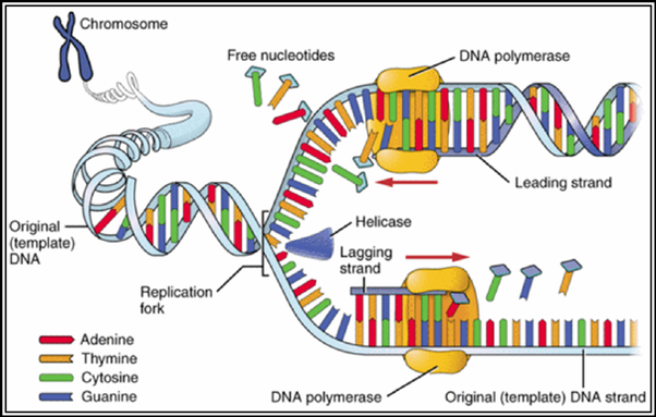 Why Has Dna Replication Been Called The Most Complex Process In A