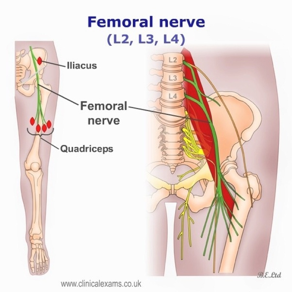Is The Femoral Nerve Located In The Lower Back Quora