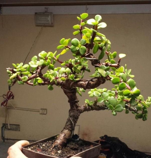 Bonsai tree sale in bangalore dating. Bonsai tree sale in bangalore dating.