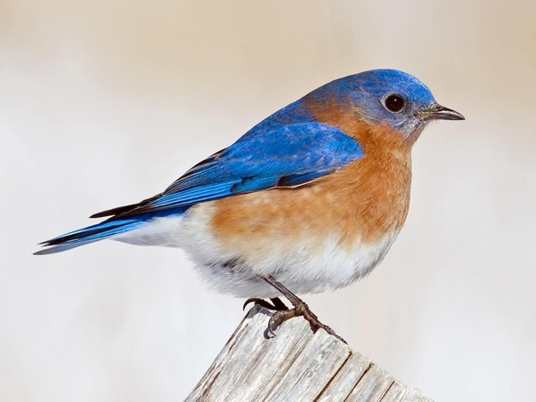 Above Is An Eastern Bluebird One Of The More Common Species Bluebirds Are A Thrush Another Difference Between Two Behavior And