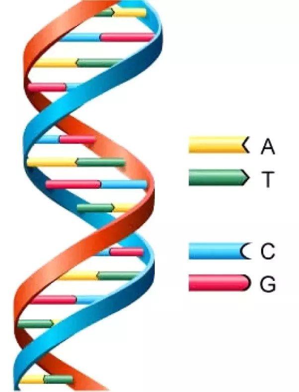 why does a dna molecule always contain equal amounts of adenine and