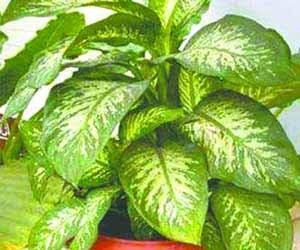 Money Plant Leaves Are Poisonous To Humans And Pets But May Be Not In Case Of Cats Eating Them Can Cause Burning Swelling Lips Tongue Throat