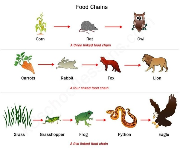 What Is A Food Wed: What Is The Food Web According To Science?