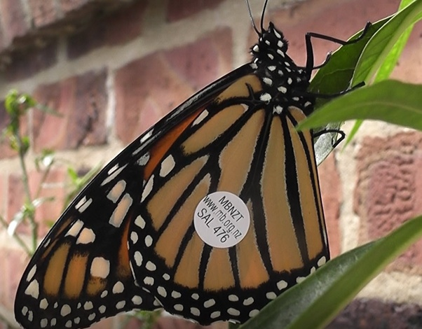What does it mean to find a dead monarch butterfly? - Quora