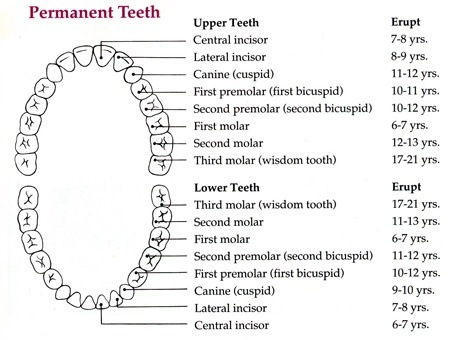 Should we use kids tooth brush or adult toothbrush for a 12 year old so technically the child should be guided to start using an adult toothbrush if possible flossing should also be taught now as it is best to start ccuart Image collections