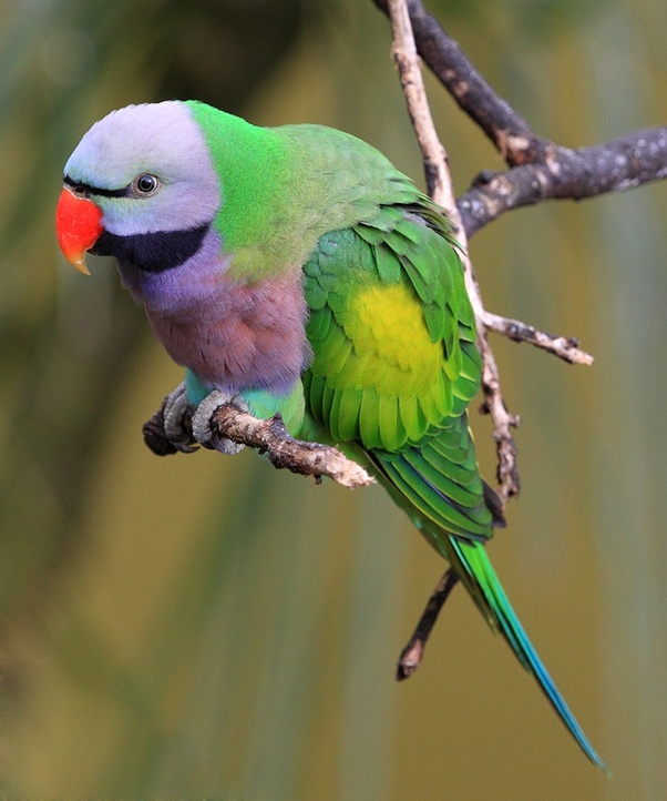 What is the natural habitat of the Red-Breasted Parakeet or