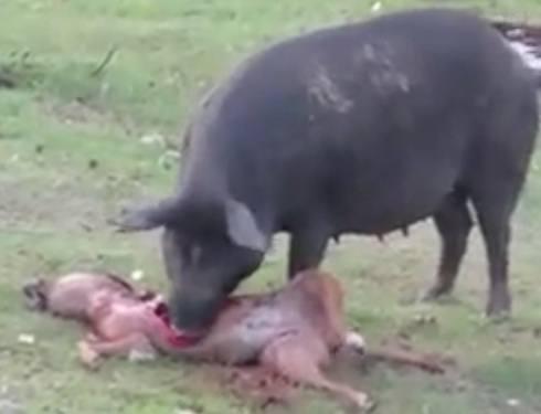 Dog Eats Like A Hog
