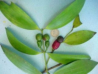 What fruit starts with the letter n quora 3nce fruit scientific name is byrsonima crassifolia mightylinksfo
