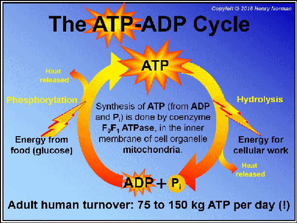 What Is The Atp And Adp Cycle Quora