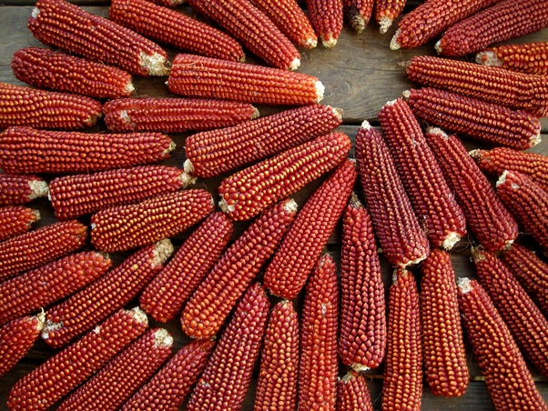 Have you ever eaten 'Indian corn'? How did you prepare it