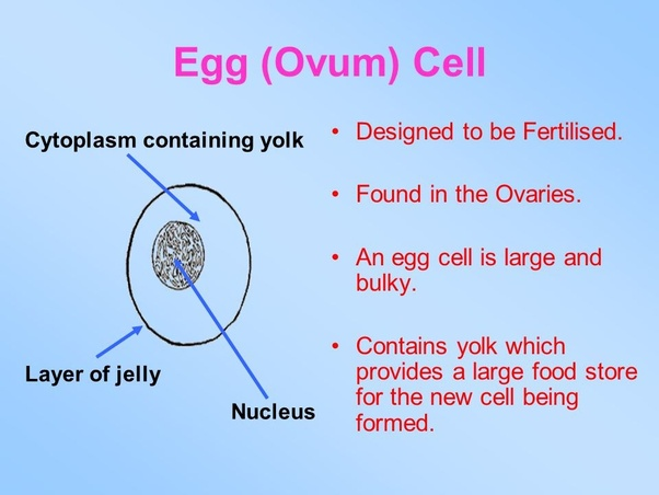 How Do Egg Cells Adapt To Their Function Quora
