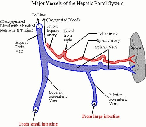 What is the difference between hepatic vein and hepatic portal vein ...