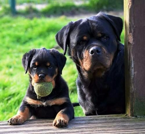 What Should Be The Diet Of My 1 Month Old Rottweiler Puppy