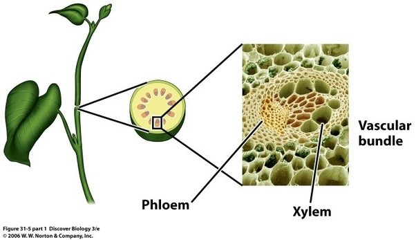 What do all vascular plants have? - Quora