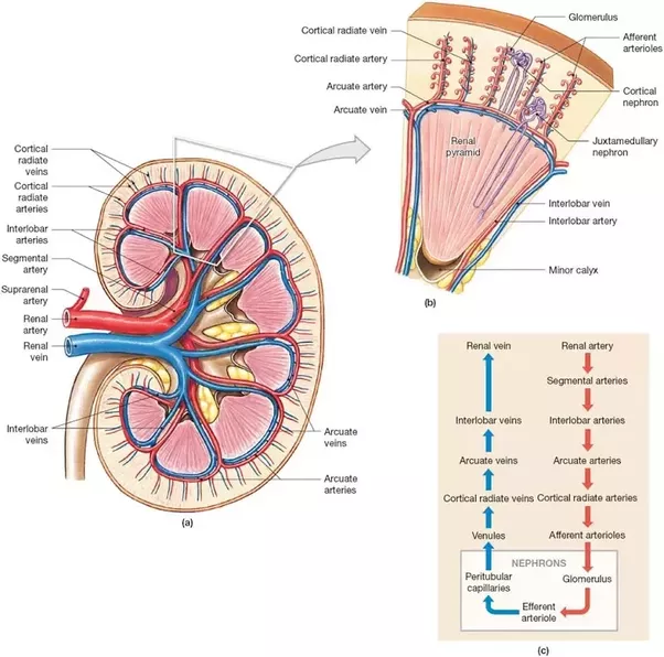 Is The Blood Flow In The Urinary System And The Blood Flow Through