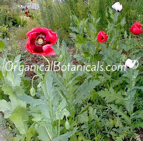 Is growing poppy legal in the us and canada quora reference papaver setigerum dc wild poppy seed somniferum relative mightylinksfo