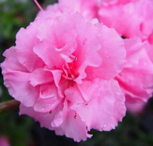 What is the name of this very ruffled pink flower with fat round pink mightylinksfo