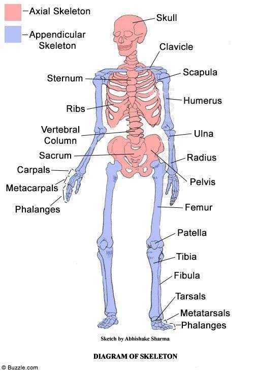 What Is The Function Of An Appendicular Skeleton