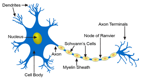 What Is The Basic Unit Of The Nervous System Quora