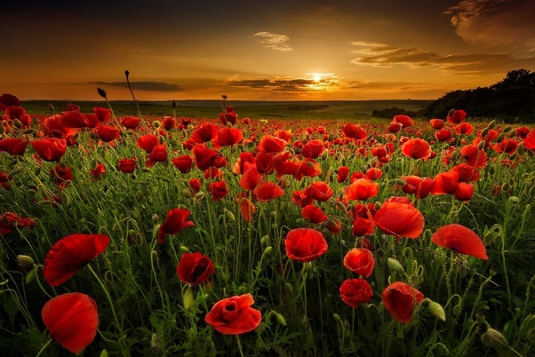 What countries wear remembrance day flowers uk a poppy is very new zealand and australia wear red poppies in remembrance of anzac australian new zealand army corps day held on 25th april mightylinksfo