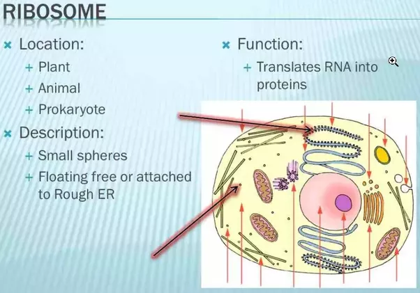 What Are The Main Functions Of Ribosomes And Where Are They Located
