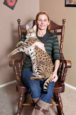 How Big Is An Adult Bengal Cat Quora
